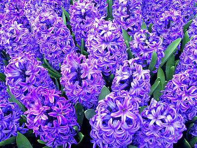 Flower Photograph - Hyacinths No. 1-1 by Sandy Taylor