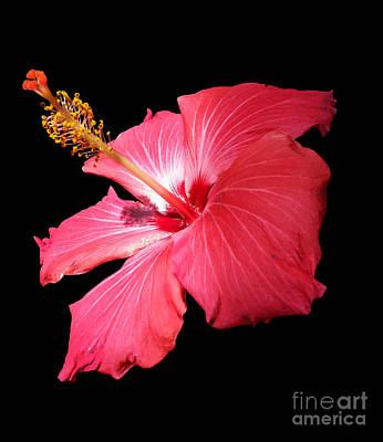 Photograph - Hybiscus Flower Portrait by Diane E Berry
