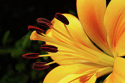 Photograph - Hybrid Lily by Rich Walter