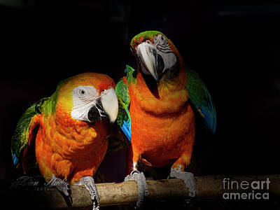 Photograph - Hybrid Macaws by Melissa Messick