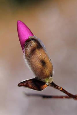 Photograph - Hybrid Magnolia Bud by Carol Montoya