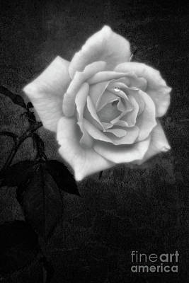 Floral Digital Art -  Hybrid Tea Rose variety Congratulations by John Edwards