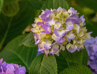 Digital Art - Hydrangea 2 by Keith Smith