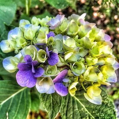 Photograph - Hydrangea 2 by Susan Morrow