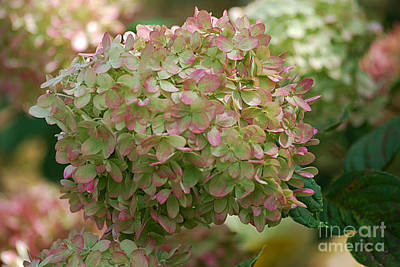 Photograph - Hydrangea 20130901_174 by Tina Hopkins