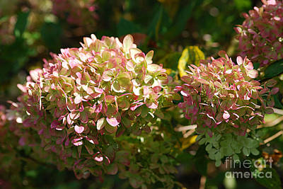 Photograph - Hydrangea 20130901_180 by Tina Hopkins