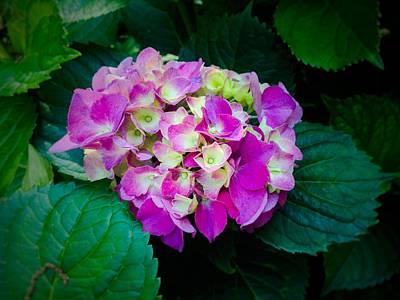 Photograph - Hydrangea 3 by Susan Morrow