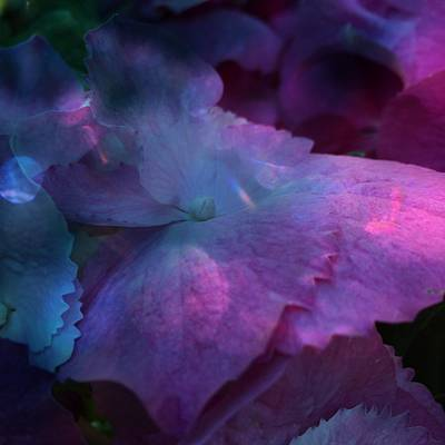 Photograph - Hydrangea by Anne Thurston