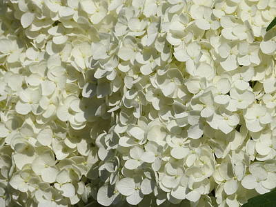Photograph - Hydrangea Bloom by Betty-Anne McDonald