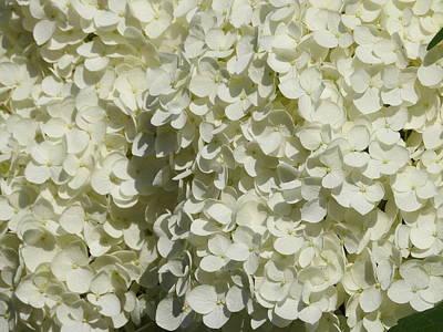 Photograph - Hydrangea Bloom by Betty-Anne McDonald