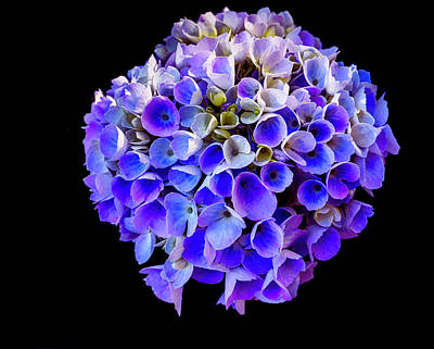 Photograph - Hydrangea Bloom by David Kay