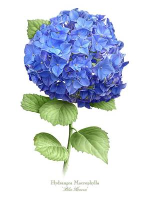 Painting - Hydrangea Blue Heaven by Artellus Artworks