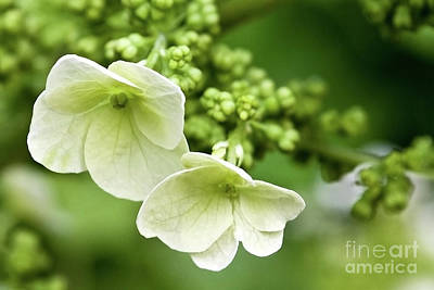 Hydrangea Buds Visit Www.angeliniphoto.com For More Art Print by Mary Angelini