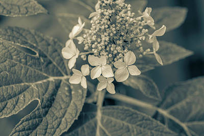 Photograph - Hydrangea Bw by Keith Smith