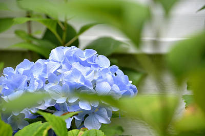 Photograph - Hydrangea by Charles Bacon Jr
