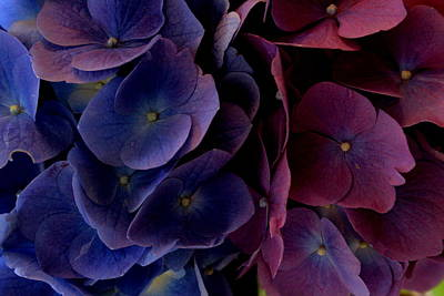Photograph - Hydrangea by Christopher Kirby