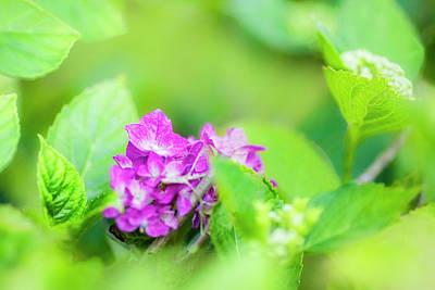 Photograph - Hydrangea Flower by Vincent Pelletier