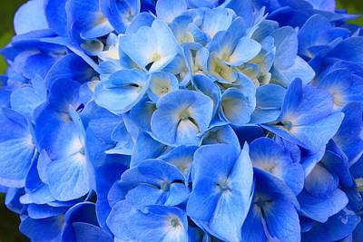 Photograph - Hydrangea Flower by John Burk