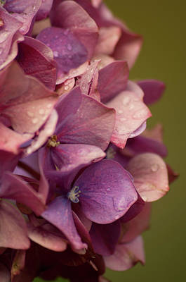 Photograph - Purple Hydrangea by Marilyn Wilson