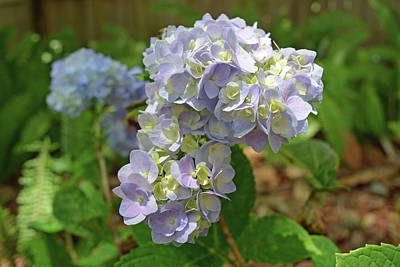 Blooms Photograph - Hydrangea Flowers by Aimee L Maher Photography and Art Visit ALMGallerydotcom