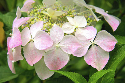 Photograph - Hydrangea Flowers, Sprinkled Pink. by Nareeta Martin