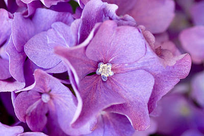 Purple Hydrangeas Photograph - Hydrangea by Frank Tschakert