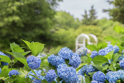 Photograph - Hydrangea Heaven by Betty Wiley