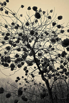 Photograph - Hydrangea I Toned by David Gordon