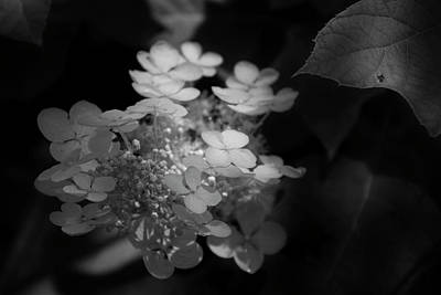 Photograph - Hydrangea In Black And White by Chrystal Mimbs