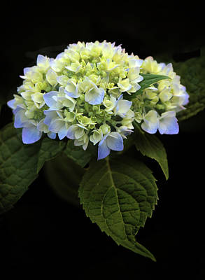Photograph - Hydrangea In Bloom by Jessica Jenney