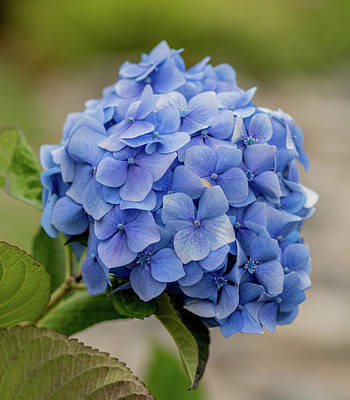 Photograph - #hydrangea In Blue by E Faithe Lester