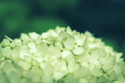 Photograph - Hydrangea by Jeanette Fellows