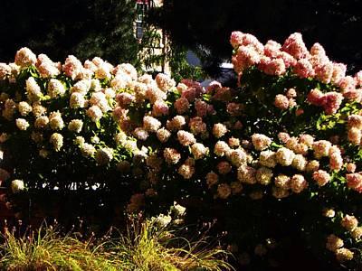 Photograph - Hydrangea by Joseph Frank Baraba