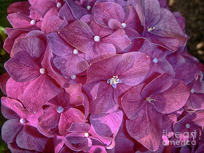 Photograph - Hydrangea by Judy Hall-Folde