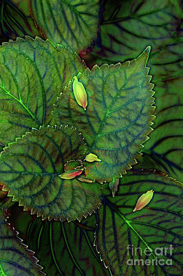 Vermeer Rights Managed Images - Hydrangea Leaves Royalty-Free Image by Mike Nellums
