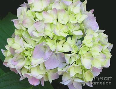 Hydrangea Art Print by Linda Vespasian