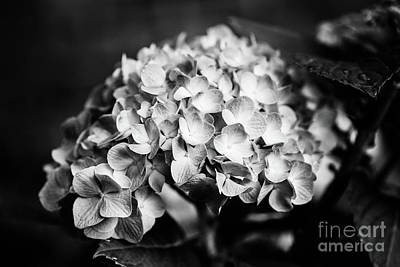 Photograph - Hydrangea Love - Bw by Scott Pellegrin