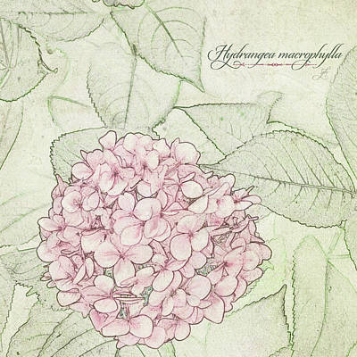 Digital Art - Hydrangea Macrophylla by Gina Harrison