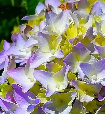 Photograph - Hydrangea by Maggie Vlazny