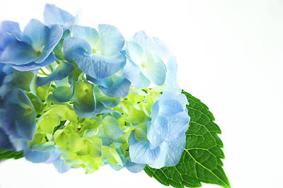 Photograph - Hydrangea Magic by Nancy Kirkpatrick