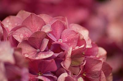 Photograph - Hydrangea Flower by Marilyn Wilson