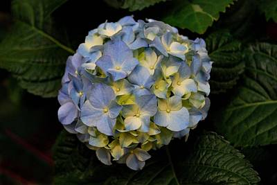 Art Print featuring the photograph Hydrangea by Marilynne Bull