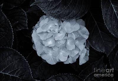 Photograph - Hydrangea Nestled by Rachel Cohen