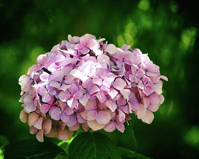 Photograph - Hydrangea No. 4-1 by Sandy Taylor