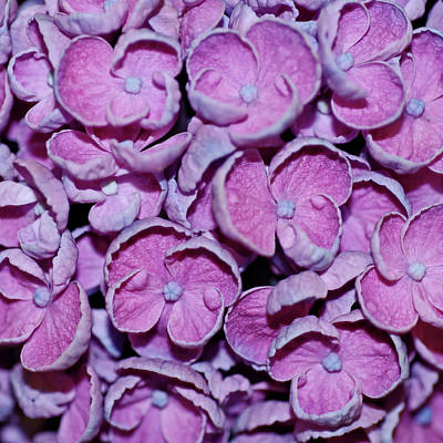 Photograph - Hydrangea Petals by Robert Shard
