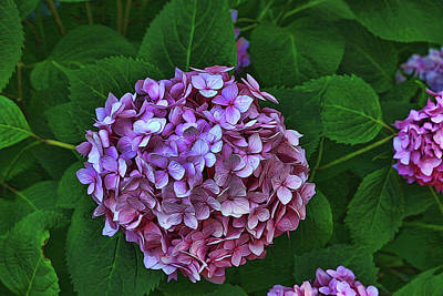 Photograph - Hydrangea - Photopainting by Allen Beatty