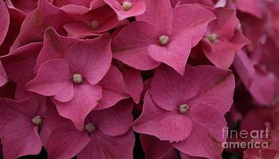 Photograph - Hydrangea - Pink by Renee Olson
