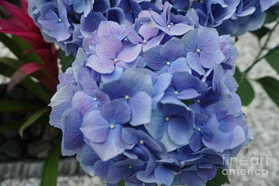 Photograph - Hydrangea Plant by Jimmy Clark