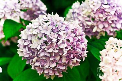 Hydrangea Purple Art Print by Ryan Kelly