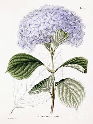 Hydrangea Art Print by Sebastian Minsinger